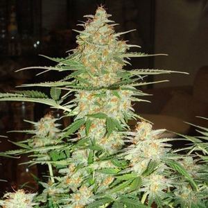 60 Day Wonder marijuana seeds