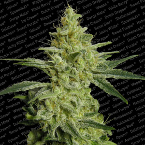 Allkush marijuana seeds