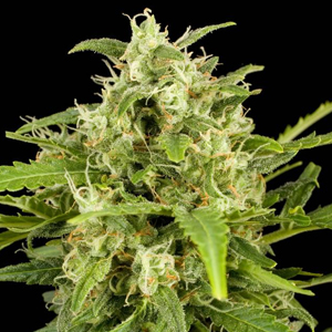 Auto Critical marijuana seeds