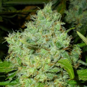 Big Bud Special marijuana seeds