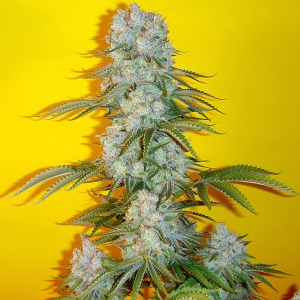 Blue Fin marijuana seeds
