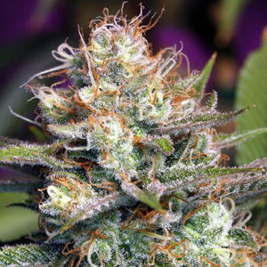 Blue Mystic marijuana seeds