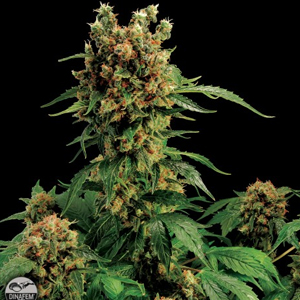 California Hash Plant marijuana seeds