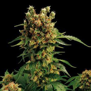 California Orange Bud marijuana seeds