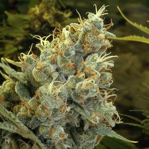 California Skunk marijuana seeds