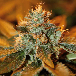 Cataract Kush marijuana seeds