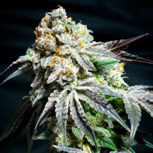 Cookie Wreck marijuana seeds