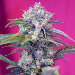 Cream Mandarine marijuana seeds