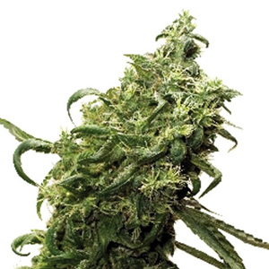 Dark Delight marijuana seeds