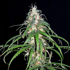 Green Haze marijuana seeds