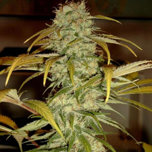 Hawaii Skunk marijuana seeds