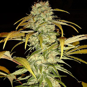Hawaiian Skunk marijuana seeds