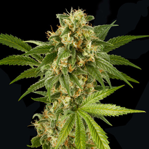 Kush 'n Cheese marijuana seeds