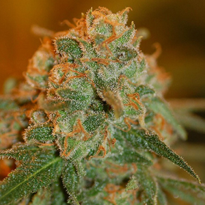 Lemon Skunk marijuana seeds