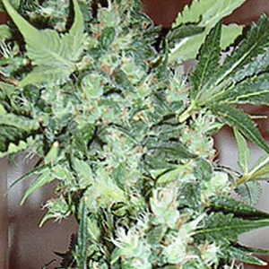 Master Kush Northern Lights marijuana seeds