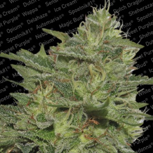 Original Cheese marijuana seeds