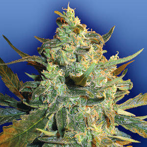 Power Skunk marijuana seeds
