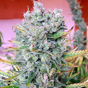 Royal Flush marijuana seeds