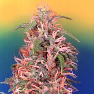 Skunk Passion marijuana seeds