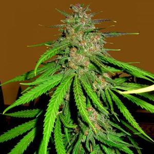 Skunk Red Hair marijuana seeds
