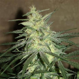 Star Ryder marijuana seeds