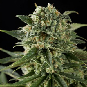 Super Critical Haze marijuana seeds