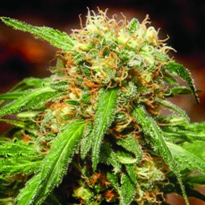 Sweet Tai marijuana seeds