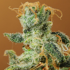 Swiss Miss marijuana seeds