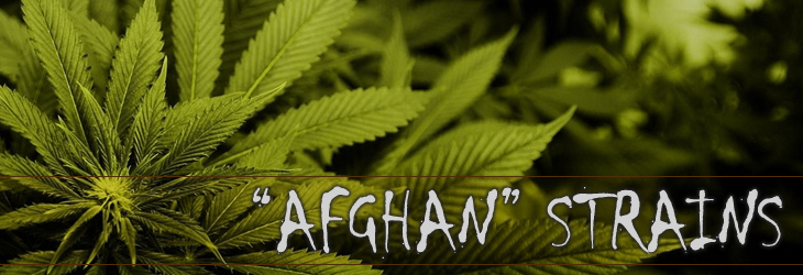 Afghan marijuana seeds