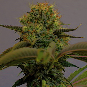 Top Dawg marijuana seeds