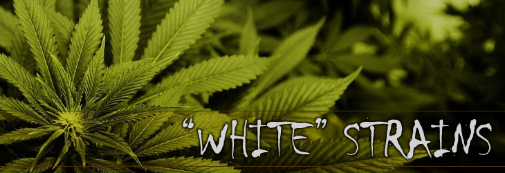 white marijuana seeds