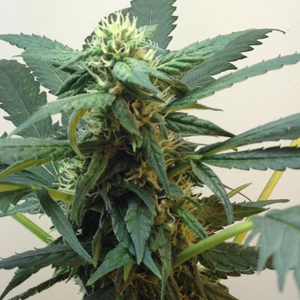 Top 44 marijuana seeds