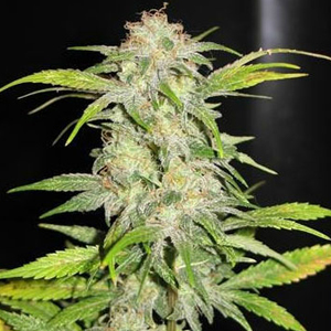 TropiCanna marijuana seeds
