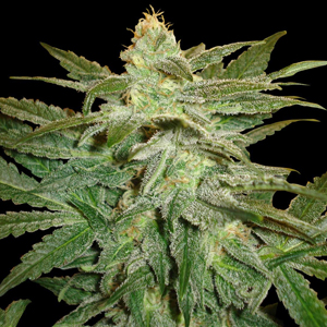 White Queen marijuana seeds