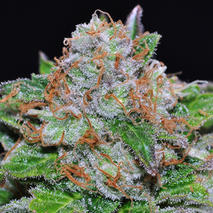 White Rhino marijuana seeds
